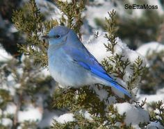 Though it is far from peak breeding season in most areas, bluebirds are beginning to…