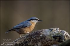 Eurasian Nuthatch by ernstpluess