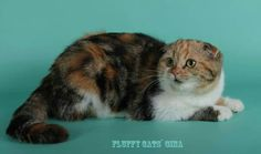 female SFS Fluffy cats Gina f 21 03 8 months