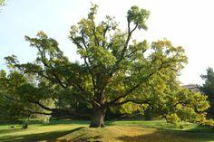 Kremnica - Zechenter garden, oak-tree-350yrs Oak Tree, Politicians, Homeland, Castle, Garden, Plants, Beautiful, Garten, Lawn And Garden