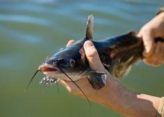Catfish farming in Nigeria
