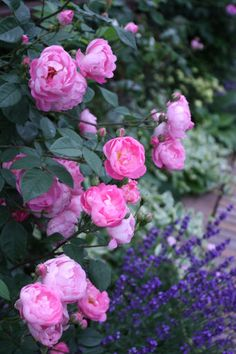 RAUBRITTER Ground-cover rose. Little clusters of rounded, cupped, pink flowers. A vigorous, sprawling bush, forming a low mound. Light fragrance. Once flowering. 1m. x 1,5m