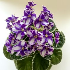 African Violet Ma's King Carnival