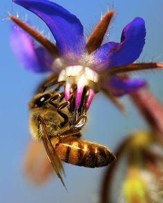 Bee the Borago!