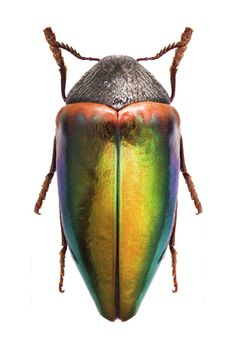 Sternocera discedens