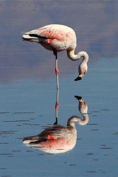 Chilean Flamingo & Reflection