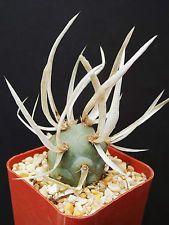 Tephrocactus Articulatus. Exotic rare #cacti paper spines #succulent #cactus