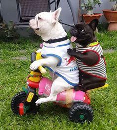 @frenchbulldog_pierre hitching a ride...                              …