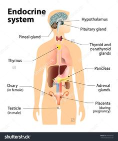 Anatomy Of The Endocrine System Endocrine System Human Anatomy Human Silhouette Stock Vector