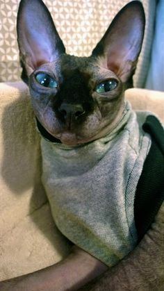 Hairless Cats, Sphynx Cat, Cat Breeds, Beautiful Creatures, Cats And Kittens, Cute Cats, French Bulldog, Sydney, Cute Animals