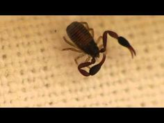 If you have old vintage books, you may have some book scorpions in your bookcase. Actually, you really should want to have them, even if they look scary and gross. Book scorpions protect your old books—they love to munch on the book lice that eat the glue which holds old books together.