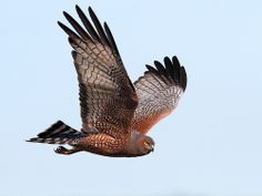 b93 Spotted Harrier [Castlereagh] 0057825