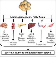 Glucagon Suplimentarea pentru pierderea în greutate