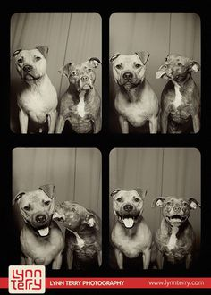 What Happens When You Put Two Pit Bulls In A Photo Booth | Bored Panda