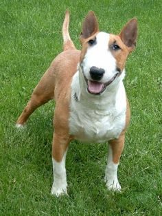 bull terriers are so funny. :)