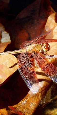 **Dragonfly.
