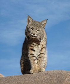 Look at that.... Bobcats are ferocious and adorable at the same time! ;)
