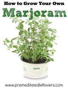How to Grow Marjoram* including how to grow marjoram from seedlings* how to grow marjoram in containers* and how to harvest marjoram. home gardening tips Organic Gardening, Gardening Tips, Container Gardening, Vegetable Gardening, Spice Garden, Growing Tomatoes In Containers, Grow Tomatoes, Drought Tolerant Plants, Vegetable Garden