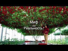 "The ""Octopus"" Tomato Tree WOW!!!- The Gaia Health Blog"