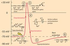 Action potentials - stages plus graph