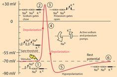 Action potentials - stages plus graph
