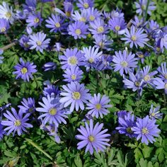 Blue Shades' Anemone (also called windflowers) are rare, low-growing flowers that are deer and rabbit-resistant. Comes wtih planting instructions and videos. Guaranteed to Grow in your garden. Indoor Flowering Plants, Tall Plants, Blue Plants, Growing Flowers, Growing Plants, Summer Flowers, Purple Flowers, Exotic Flowers, Yellow Roses