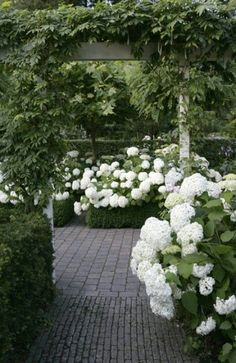 White hydrageas in a lush garden ~ Green and White  Modern front yards are all natural colours. White hydrangeas against the lush greens make your front yard more vibrant.