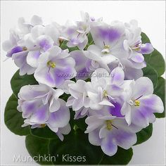 Munchkin' Kisses (LLG/P.Sorano) 12/17/2005 (9537) Single-semidouble white pansy/purple patches. Medium green, plain, quilted. Semiminiature.