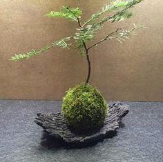 Ikebana, Indoor Garden, Indoor Plants, Bougainvillea Bonsai, Garden Furniture Design, Moss Garden, Terrarium Plants, Money Trees, Foliage Plants