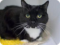 Brooklyn, NY - Domestic Shorthair. Meet OBSIDIAN, a cat for adoption. http://www.adoptapet.com/pet/17930050-brooklyn-new-york-cat
