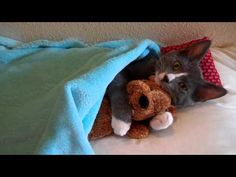 This cute little kitten loves stuffed animals! He will carry them around or attack them around the house. In this video, he's hugging his little teddy bear.