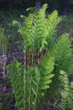 COMMON PLANTS of WISCONSIN ~ Interrupted Fern