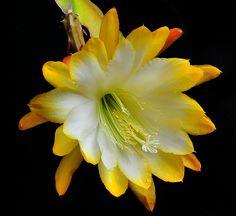 Epiphyllum Bloom   Flickr - Photo Sharing!