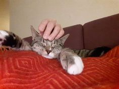 Grå/sort/hvit hunnkatt savnet i Straumen Nord-Trøndelag. (link: http://dyrebar.no/71368/) dyrebar.no/71368/ #katt #savnet  Grå/sort/hvit hunnkatt savnet i Inderøy  Publisert 07:39  15. des. 2017
