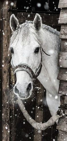 Gotta love horses in the snow Cute Horses, Pretty Horses, Horse Love, Beautiful Horses, Animals Beautiful, Gray Horse, Black Horses, Horse Photos, Horse Pictures