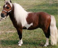 Photos and video of a small bay and white pinto miniature horse foal for sale with homozygous markings and great comformation. Miniature Horses For Sale, Ponies For Sale, Mini Pony, Horse Ranch, Palomino, Horse Breeds, Minis, Solid Colors, Miniatures