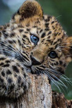 Leopard cub by Sarah Walton