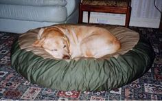 Kuldi a Yellow Lab curled up on his pet bean bed Yellow Bed, Labradors, Large Dogs, Dog Bed, Bean Bag Chair, Pets, Pictures, Animals, Animais