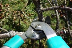 Pruning fruit and ornamental trees in Ohio's ever-changing climate helps bring about strong healthy flowers, fruits, and nuts. Pruning Shrubs, Pruning Fruit Trees, Pruning Tools, Tree Pruning, Garden Shrubs, Trees To Plant, Organic Gardening, Gardening Tips, Laurier Sauce