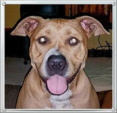 Pictures of Sophie(CP) a Pit Bull Terrier for adoption in Dickinson, TX who needs a loving home.