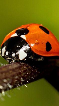 ladybug on twig iphone 5 wallpaper