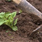 Storing potatoes in ground pits was once a popular way to ensure plenty of food throughout the winter season. You can try this storage method too using the information found in this article.