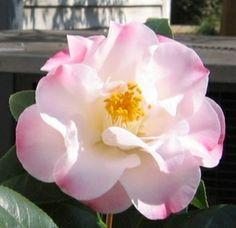 Camellia 'Blush Anne'