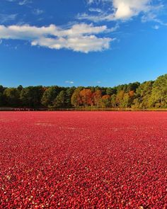 Views of the cranberry bogs in West Yarmouth  Courtesy of @gio_foto #capecodinsta http://ift.tt/1GNcZID