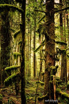 Olympia National Forest Photograph, Forks, Washington, Enchanted,  Moss Green, Trees, Nature Inspired Home and Office Decor on Etsy, $55.00