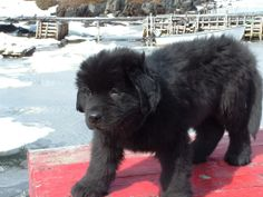 newfoundlands   most wonderful dogs ever i love the little puppies last