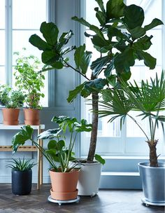 Pflanzen vor einem großen Fenster, einige auf einem Regal, andere auf Pflanzenrollwagen, u. a. mit einem verzinkten SOCKER Übertopf für drinnen und draußen