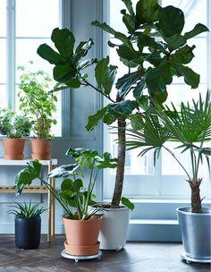 Rośliny stojące przed dużym oknem, kilka jest ustawionych na półce, a kilka na podstawce na doniczki na kółkach.