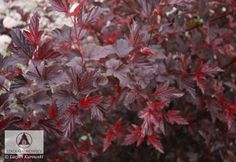 Physocarpus opulifolius 'Lady in Red' (Ph. op. 'Tuilad') -