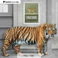 This amazing poster shows the illustration of the Wild Tiger, the largest of all Asian cats, that is considered endangered. Wild Life, Fisher, Asian Tigers, Asian Cat, Vulnerable Species, Earth Poster, Poster S, Animal Posters, Unique Art